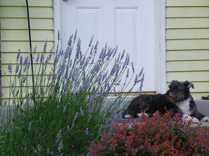 any luck transplanting overgrown lavender, gardening