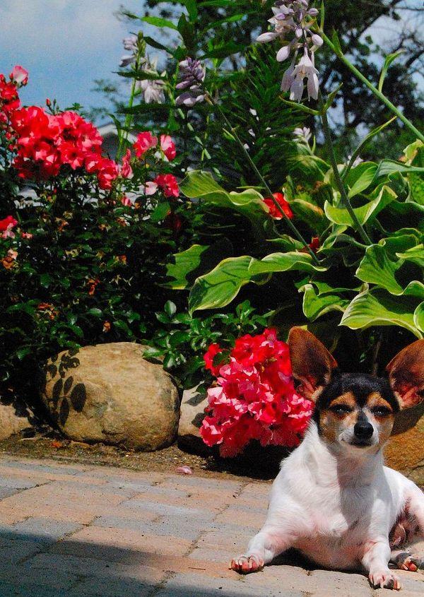 Vida, my #Chiweenie enjoying the sun