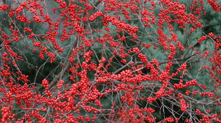 q what are some good plants or trees that help with water drainage, gardening, landscape, winterberry holly in January