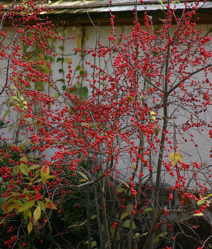 Deciduous holly ( Ilex verticillata 'Winter Red' ) holds its fruit for months. Plant one male pollinator nearby for best fruit display.
