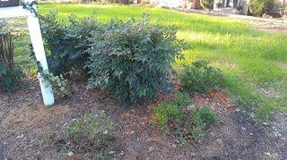 q replanting azaleas, flowers, gardening