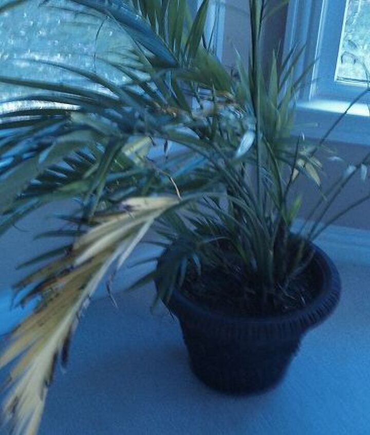 Majestic Palm - Leaves Tips brown