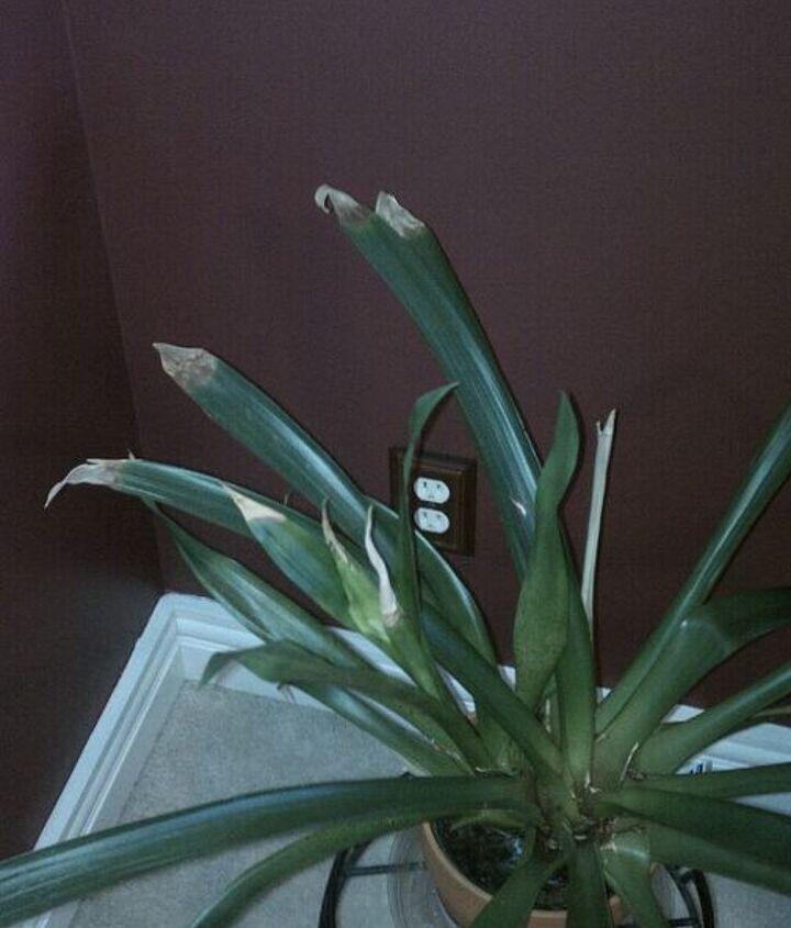 Bromeliad - No Flower, Leaves Tips brown