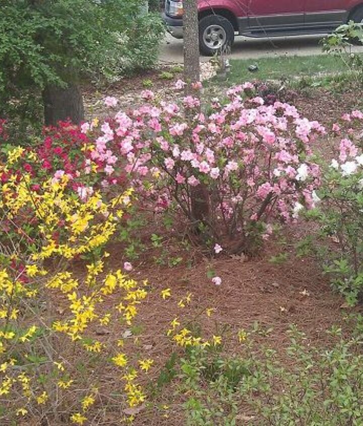 Forsythia and azaleas with another camelia to the right