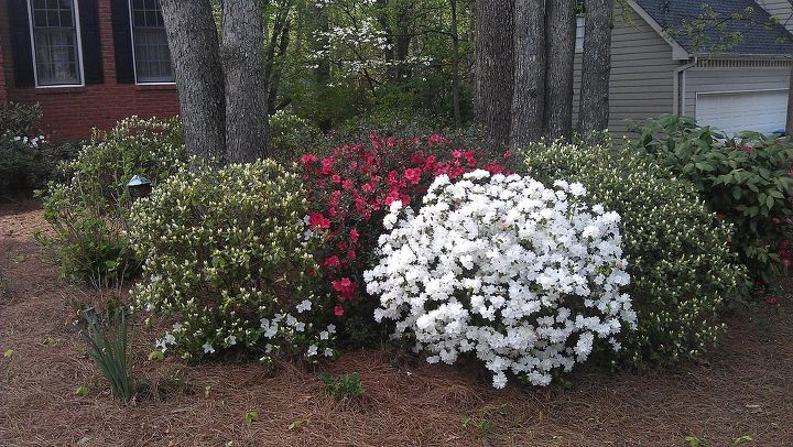 My first year in the house, I didn't know what an azalea was and when they all bloomed at the same time, it was pretty spectacular!