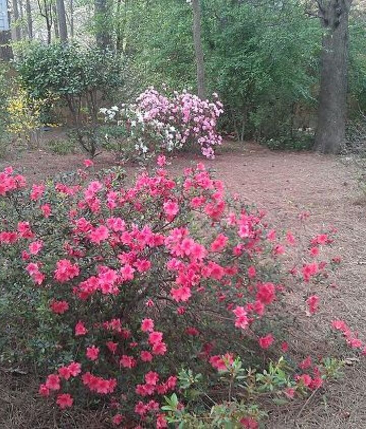 More azaleas behind the oak trees and camelia