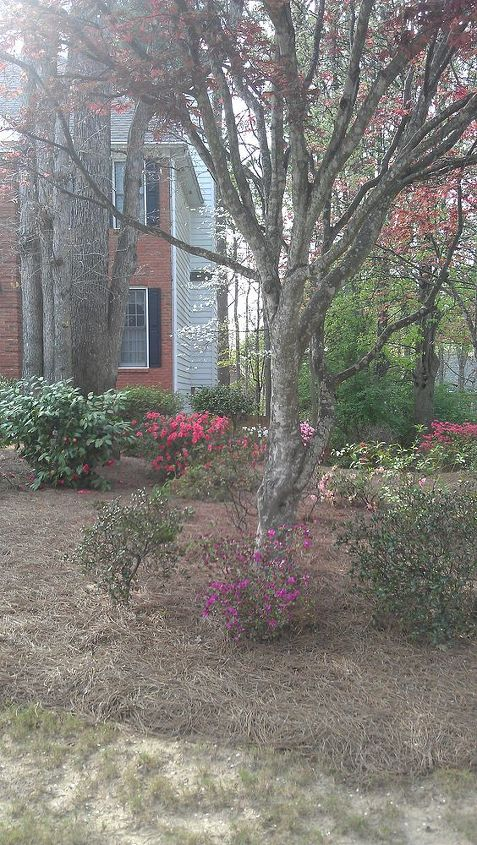close up of the Japanese maple and azaleas