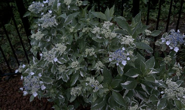 q flat top hydrangeas tried looking up type type of hydrangeas big leave, flowers, gardening, hydrangea