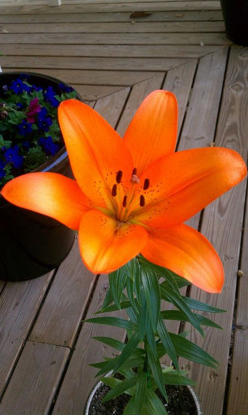 yay my beautiful lily bloomed today, gardening