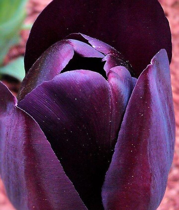 Silky deep purple blossom