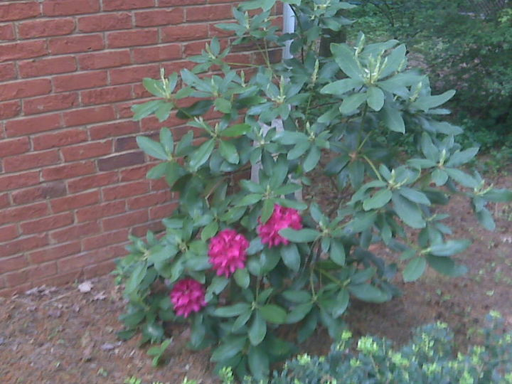 q rhododendron blooming but looking sickly any ideas what might be happening, gardening, Last year April 2011