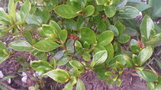 could you please help me identify this shrub, flowers, gardening, landscape, The brown things used to be pink little flowers