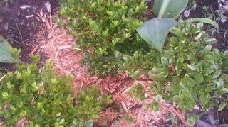 could you please help me identify this shrub, flowers, gardening, landscape, Azalea Coral Bells