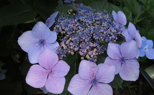 q what kind of hydrangea is this it s my aunt s and we did not know, flowers, gardening, hydrangea