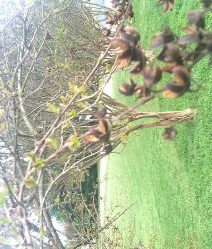 crepe myrtle woes, gardening