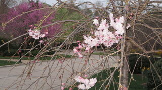 , weeping cherry