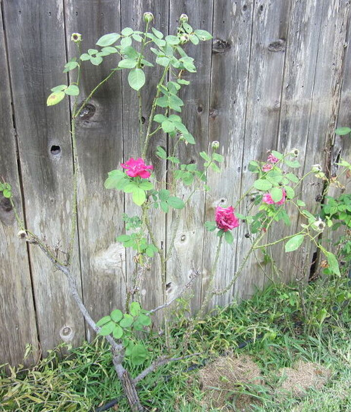 rose shurb bush questions, gardening