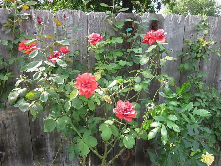 rose shurb bush questions, gardening