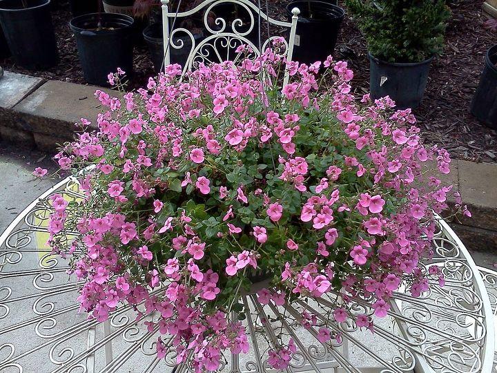 Diasia (annual flower)