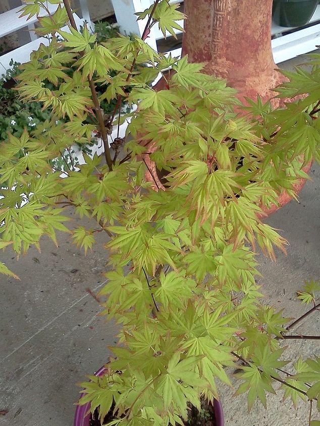 Japanese Maple  'Orange Dream'