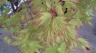 q shade loving plants, flowers, gardening, landscape, perennial, Japanese Maple Orange Dream