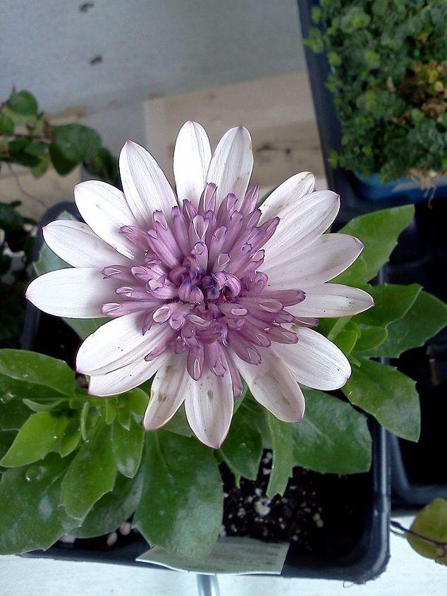 Osteospurmum (annual flower)