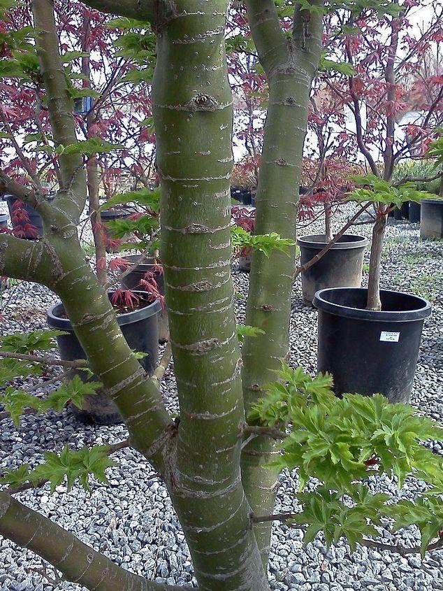 Shishigashira trunk