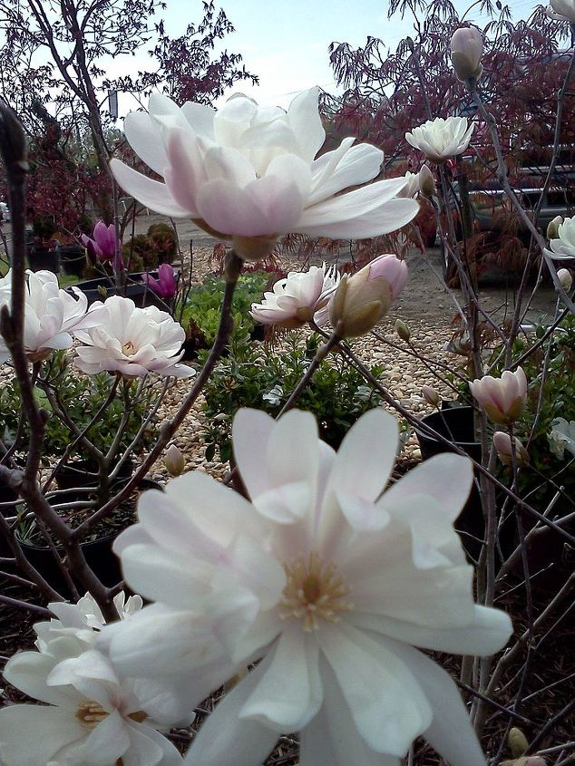 Magnolia 'Water Lily'
