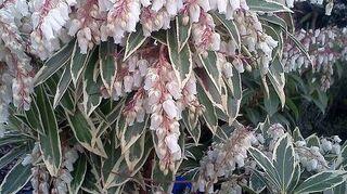 q shade loving plants, flowers, gardening, landscape, perennial, Variegated Pieris