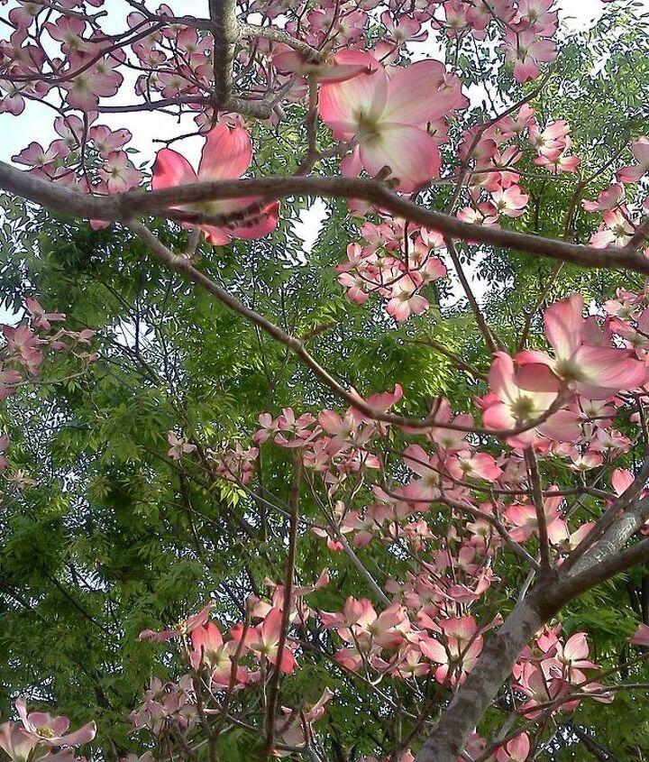 pink dogwood blooms, gardening