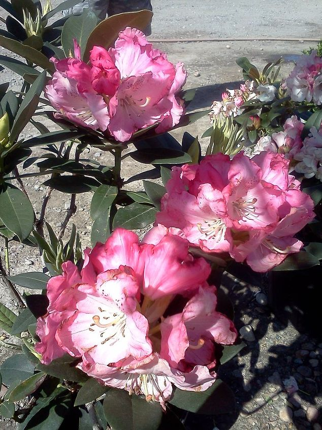 Rhododendron 'Ingrid Mehlquist'