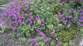 q what plants are best for a space that is 3 x 20 no deep root plants but something, gardening, Ice Plant Sedum Hardy Plumbago Ceratostigma