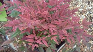 q what plants are best for a space that is 3 x 20 no deep root plants but something, gardening, Nandina Obession Southern Living Collection