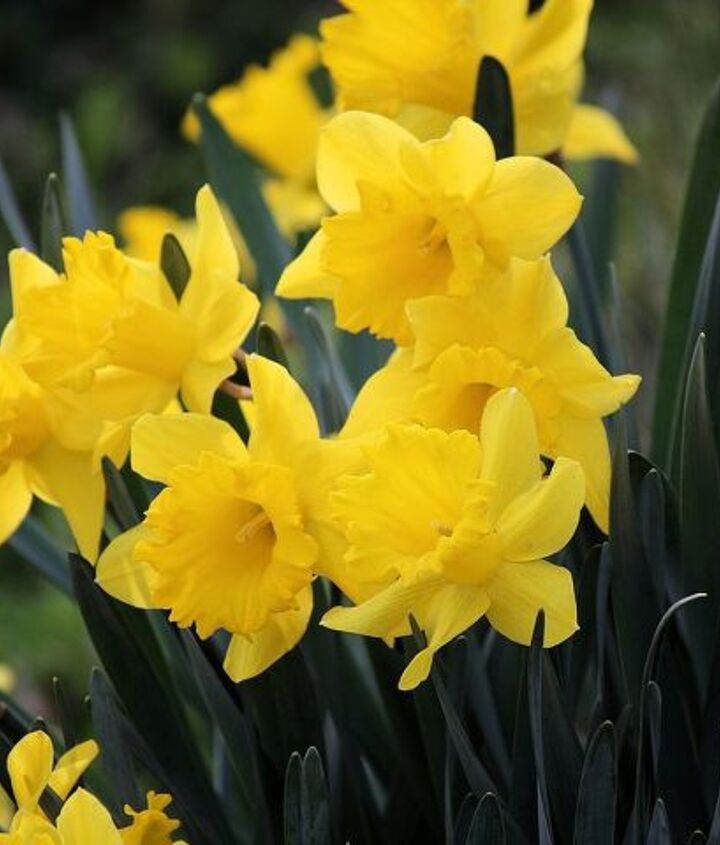 Yellow Narcissus- bulbs in the Amaryllis family, native to Europe, North Africa, and Asia.