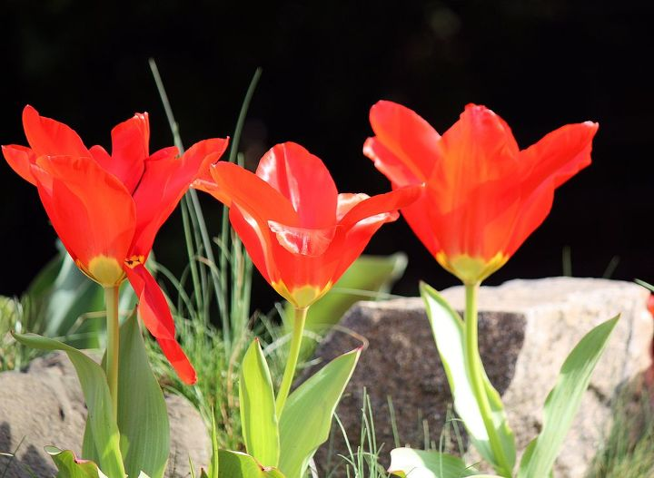 Sharp Red Tulip -beside red, it comes in multiple colors. Tulips are spring-blooming perennials that grow from bulbs.