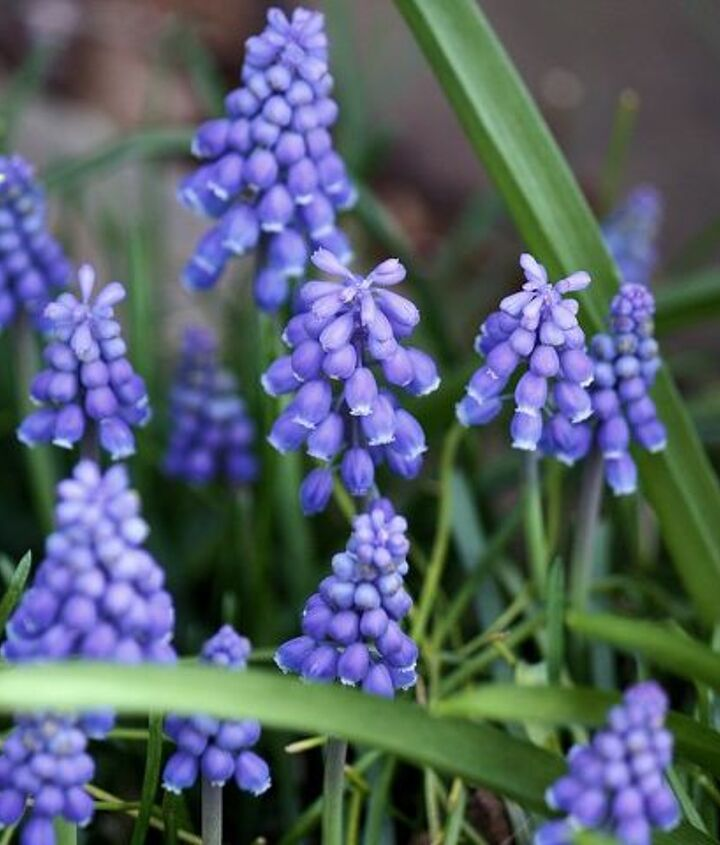 Grape Hyacinth Muscari (Baby Breath) are urn-shaped flowers resembling bunches of grapes in the spring!