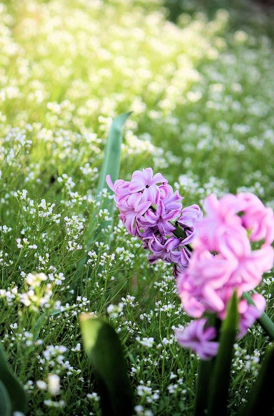 Hyacinth Lilac Lavender