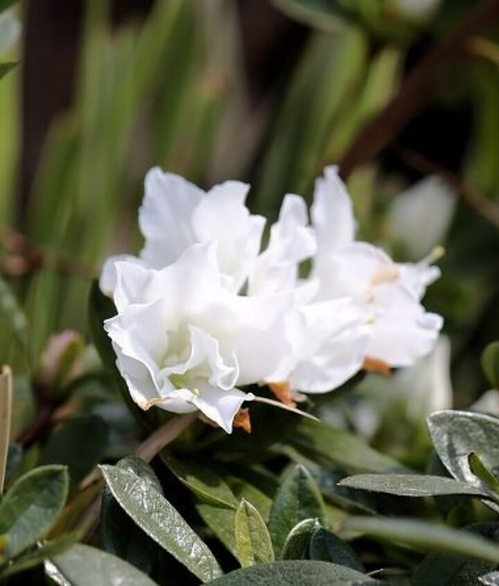 Rhododendron- are shrubs for all seasons. In spring the flowers are showy; throughout the summer and fall, the leaves add a pleasing, deep green color to the garden.