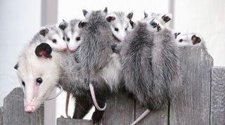 , Mama Possum Kids