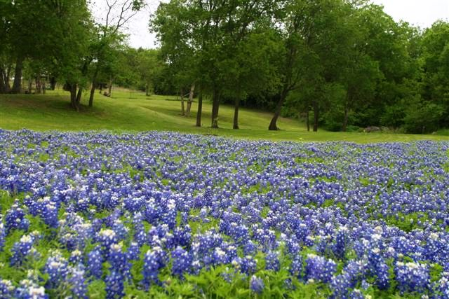 Texas Bluebells Beautiful Hometalk
