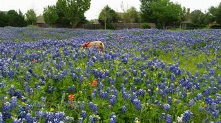q texas bluebells beautiful, flowers, gardening, Another one