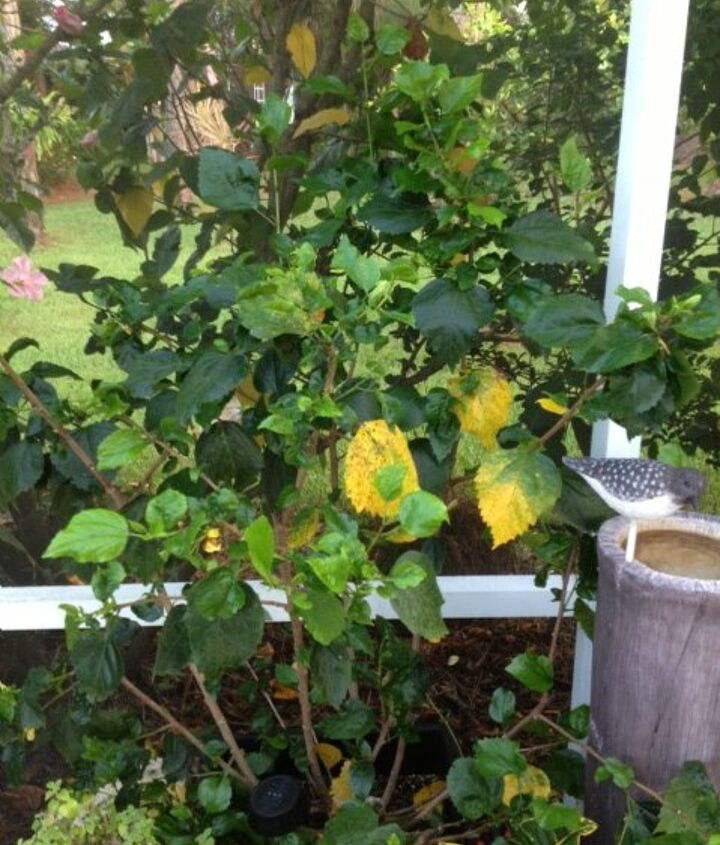 why are my hibiscus leaves turning yellow too much or too little wate, flowers, gardening, hibiscus