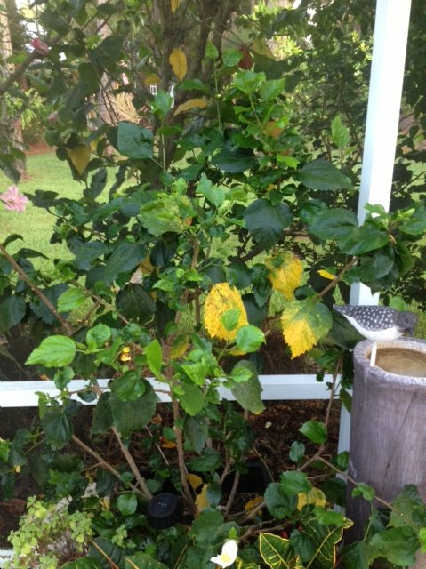 Hibiscus Leaves Turning Yellow Hometalk