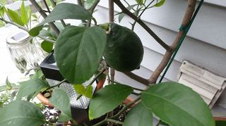 q hometalkers advice for growing my own lemon tree s indoors, gardening, largest lemon about 2