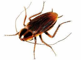 german cockroach, electrical, pest control, German Cockroach