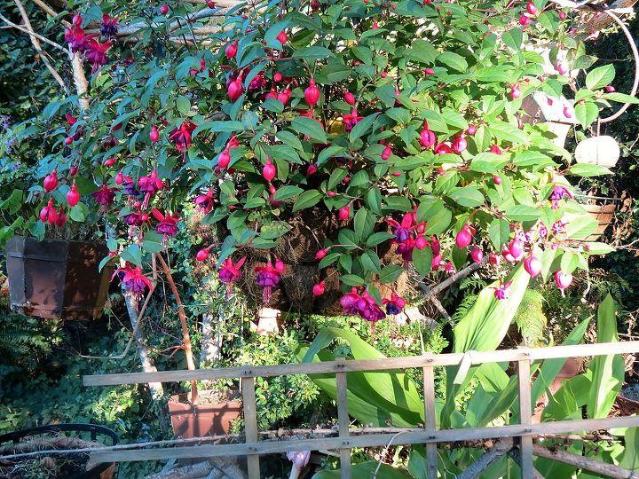 Hanging Fuchsia