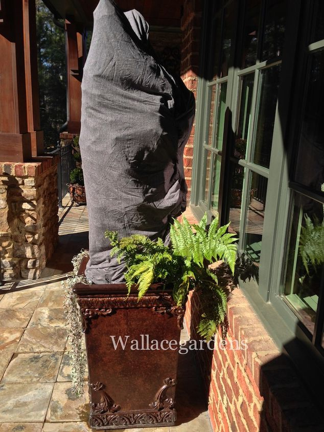 I wrapped some of my client's more valuable and vulnerable container gardens. This saved the lives of a number of tender items like this tree ivy, masquerading here as a Bandit lurking on my client's back porch.