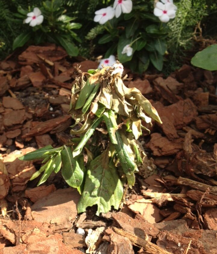 The beginning of the end for my 3rd try with Vinca this year.