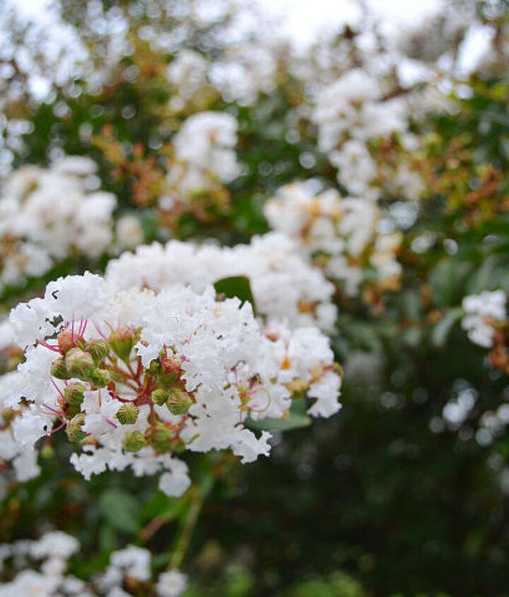 White Crepe Mrytle, garden, gardening, amy renea, a nest for all seasons, bush, plant, fall, bloom, white