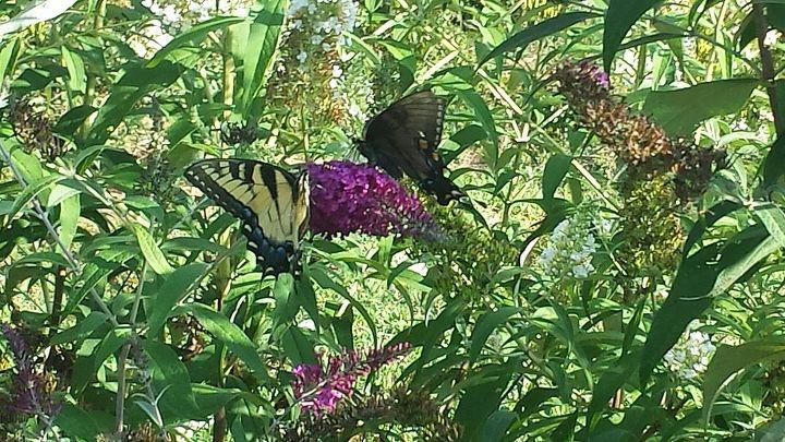 my butterfly garden, gardening, pets animals